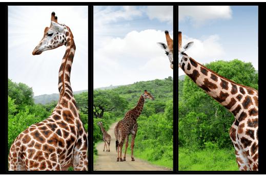 Картина из 3 частей  Жирафы